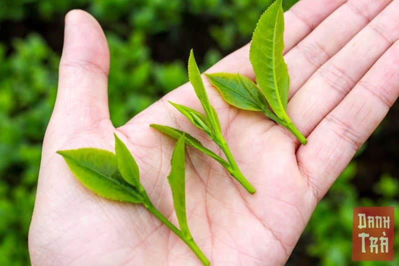 Trà được thu hái theo phương thức 'fine plucking' hay 'một tôm hai lá' theo cách gọi dân giã của Việt Nam.