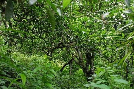 Ba cây trà cổ thụ nhiều tuổi nhất thế giới