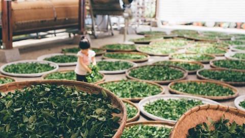 trà ô long, trà ô long đài loan