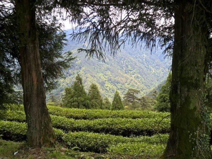 Đài Loan đang xoá bỏ vườn trà Ô Long ở Đại Vũ Lĩnh?