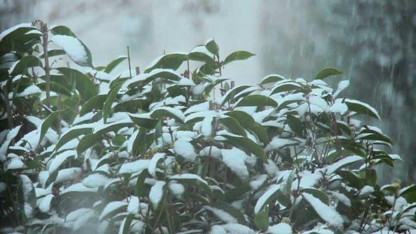 Cây trà chìm trong mưa tuyết. Ảnh: shutterstock.com